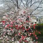 紅白の混じった珍しい桃の花